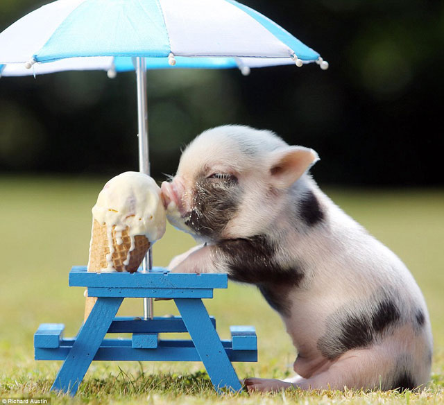 Piglet eating an ice cream cone